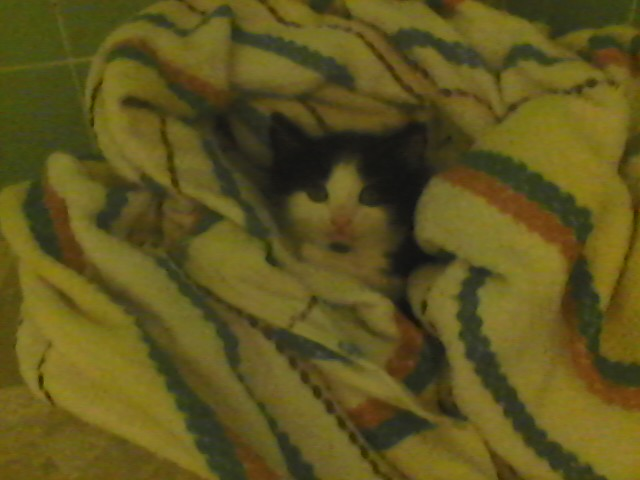 Cookie is only 4 weeks old and was brought into the shelter all by herself. They were going to kill her the same day because she is so young and without her mother. We saved her and she is warm and cozy after having a flea bath. Cookie is available for adoption!