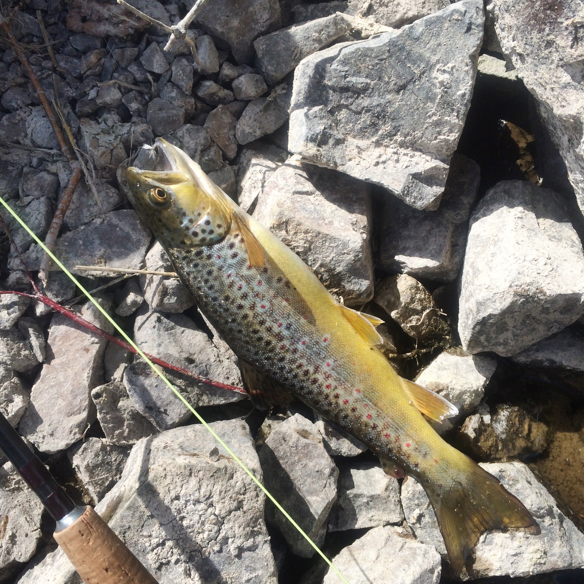 """14"""" brown trout on a BWO dry fly."""