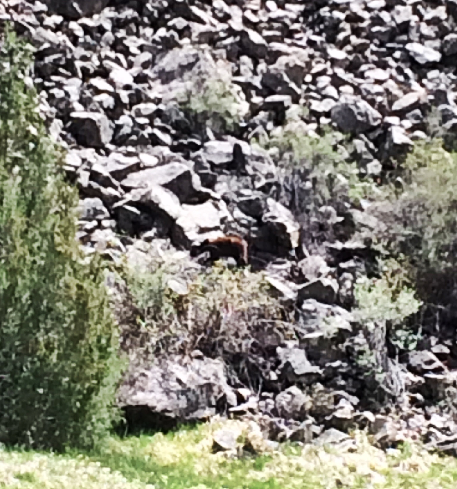 Cinnamon colored black bear, on the rocks, 30 yards across the river.