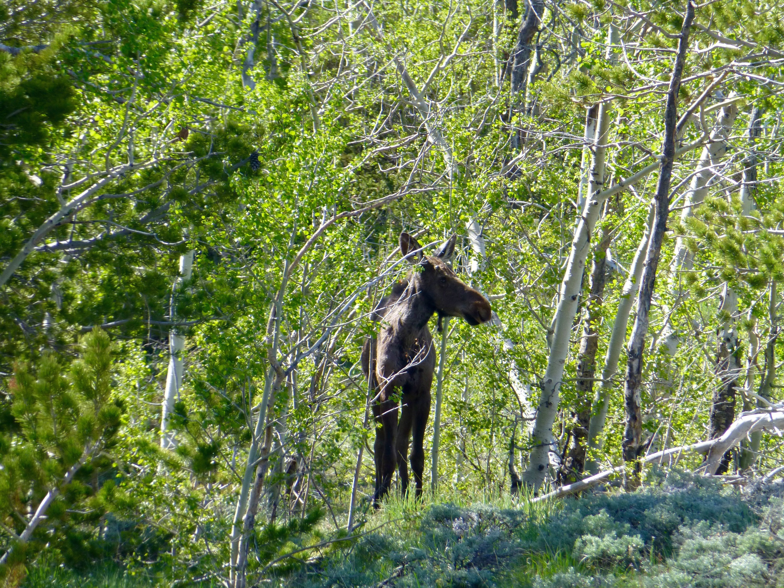 Cow Moose coming to visit