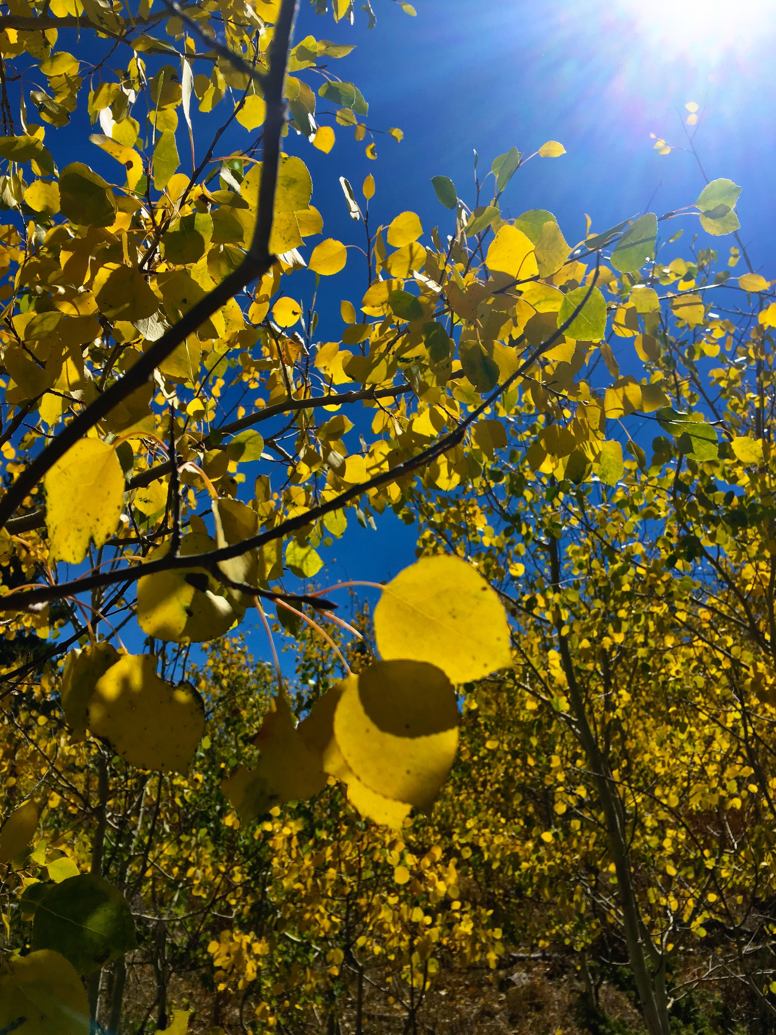 Aspens turning to gold under deep blue skies