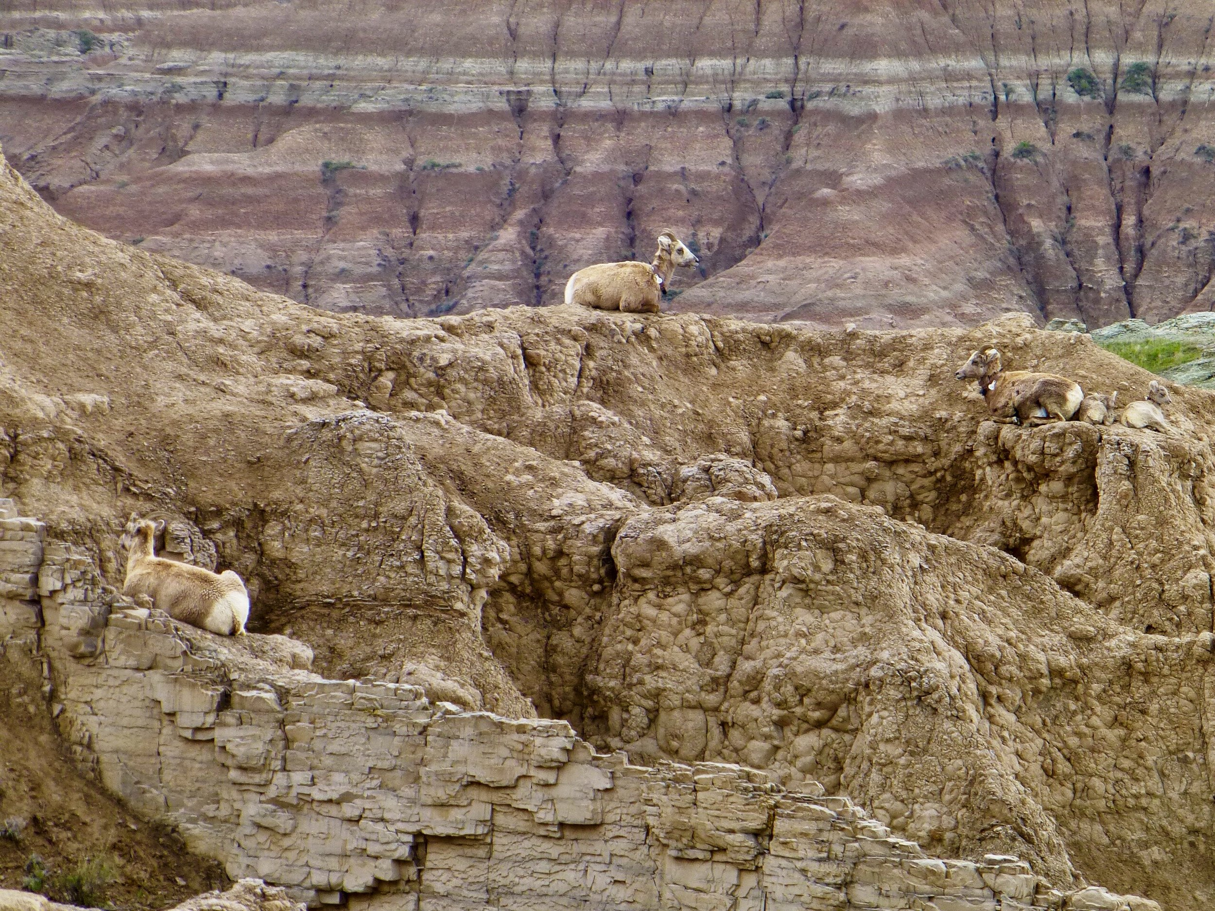 Can you find all five sheep?  Three adult ewes and two newborn lambs off to the right.