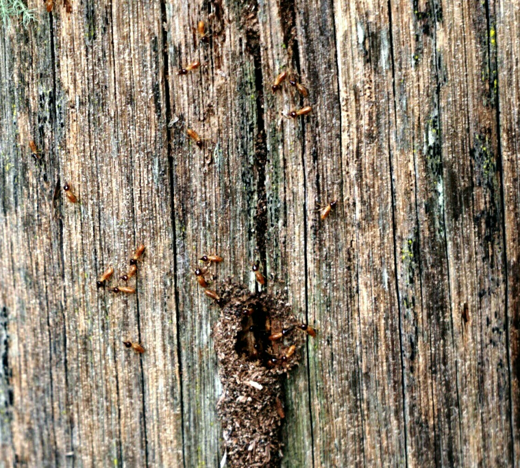 Nasutitermes on a fence post, this genus are very destructive termites, and are a threat to homes and timber structures. These were within 50m of a house and are a direct threat to the home.