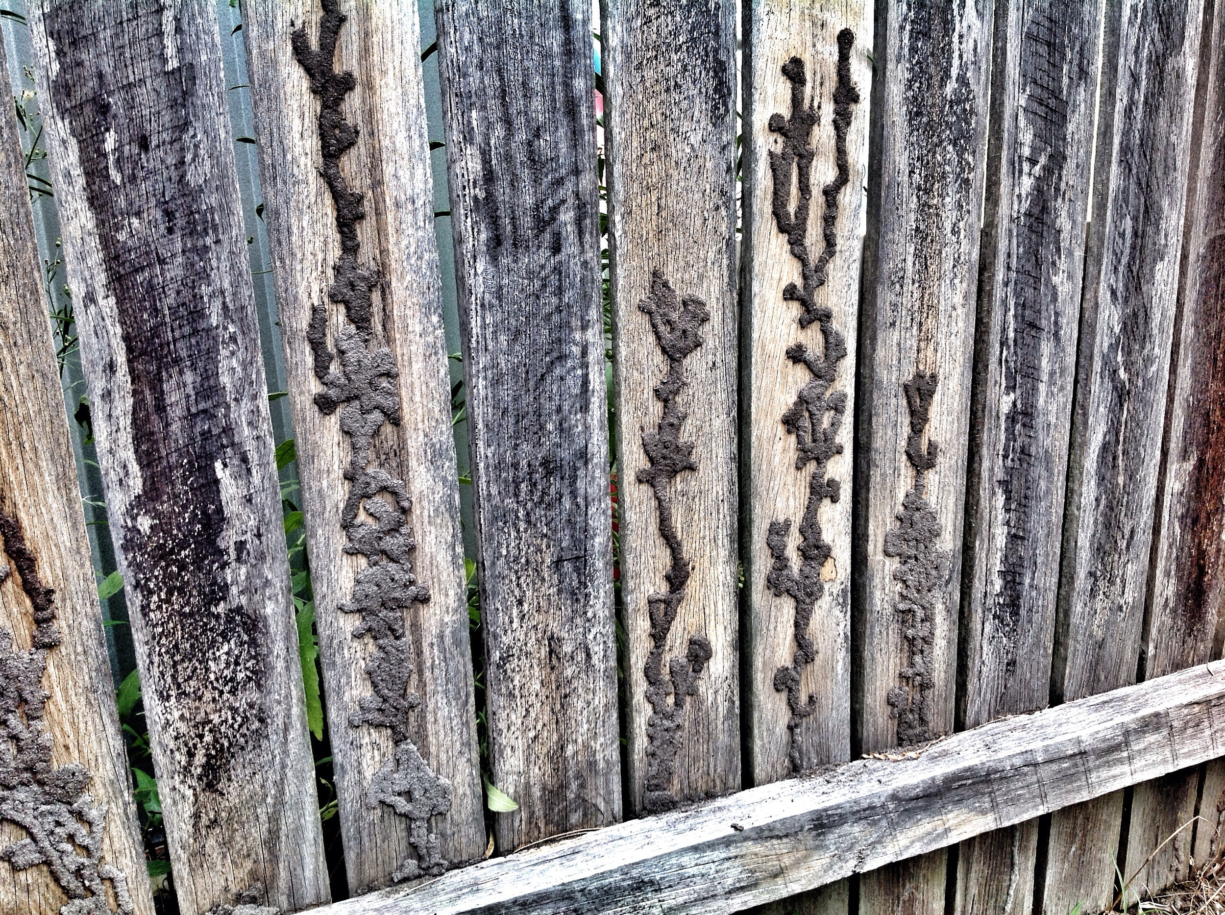 Termite galleries on the back of this fence show that the termites are quite a bit partial to fences!