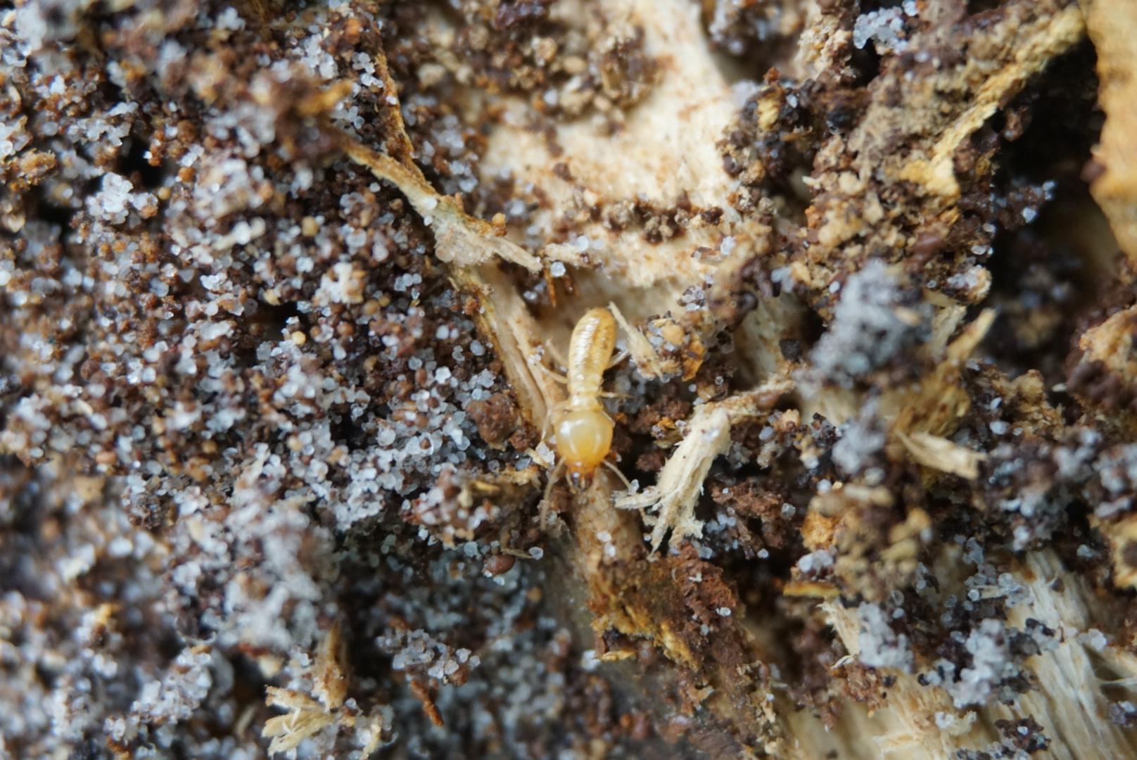 A Termite soldier. You can tell by the mandibles and darker body. This is a Schedorhinotermes major soldier.