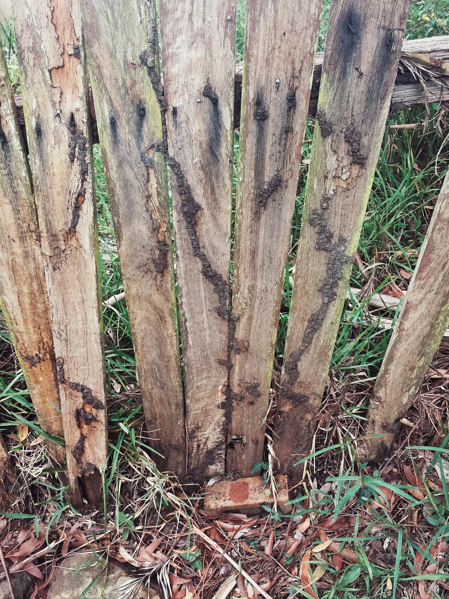 Nasutitermes mud shelter tubes on a fence.