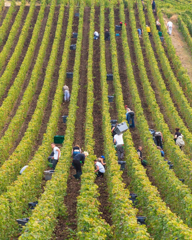 Harvest in Mareuil-sur-Aÿ