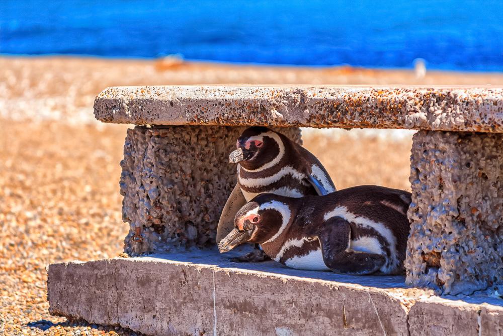 Penguins at Punta Norte