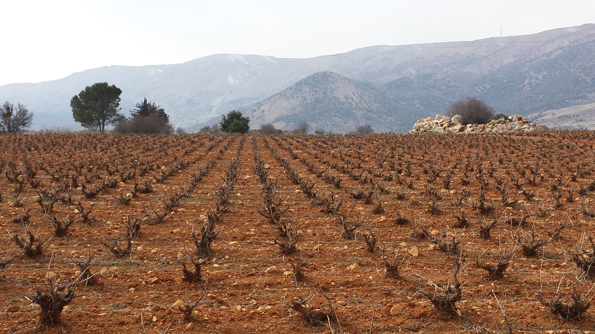 Chateau Musar's old vines in winter    (Photo: Chateau Musar)