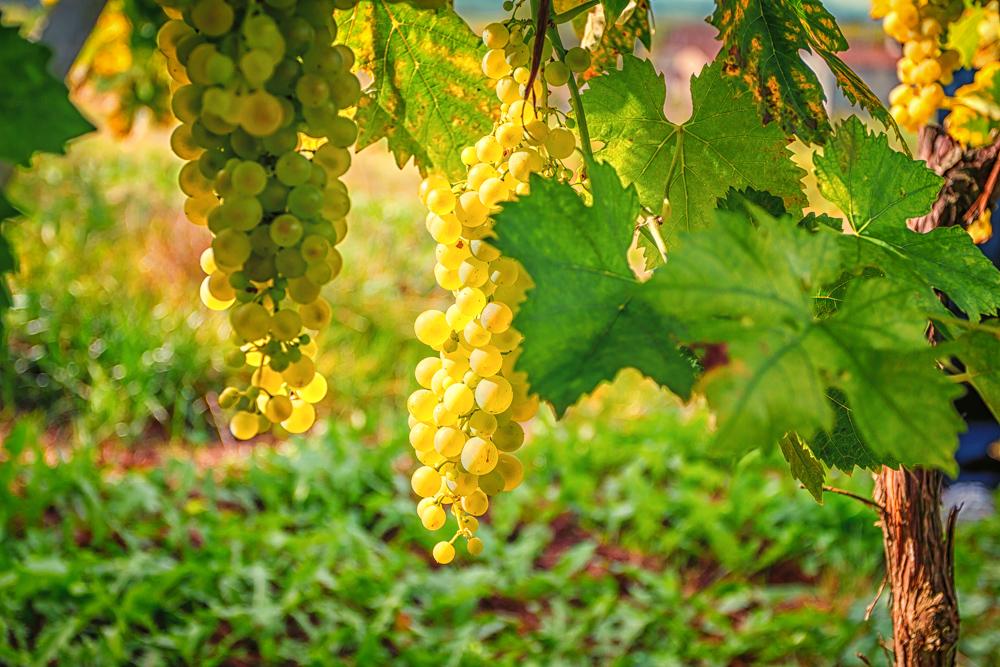 Ugni Blanc, the heart of Cognac
