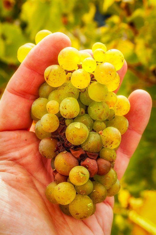 Chardonnay, barely ripe and fresh off the vine in Oger, on Champagne's Côte des Blancs