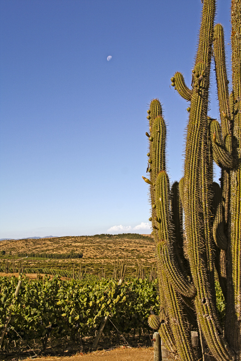 Moon over Marchiguë, one of the arid vineyards in the dry-farmed cabernet (Photo: Lyn Farmer)
