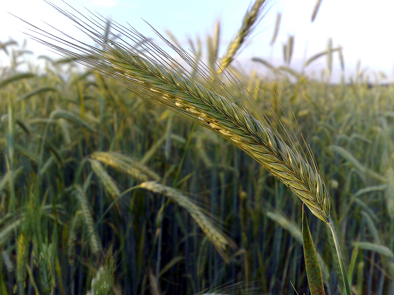 """An """"ear"""" of rye (Photo: LSDSL, used with permission )"""