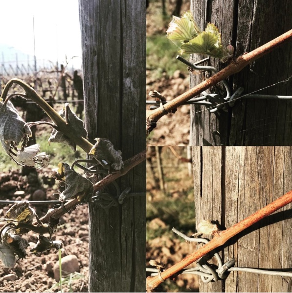 "Alsatian winemaker Olivier Humbrecht posted these photos on his Instagram page with the comment, ""what a difference two weeks makes."" Frost devastated some of Humbrecht's top vineyards in late April."
