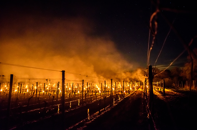 In England growers lit smudge pots and small fires to warm their vineyards. PHOTO: Julia Claxton: International Garden Photographer of the Year/Royal Photographic Society Silver Medallist.