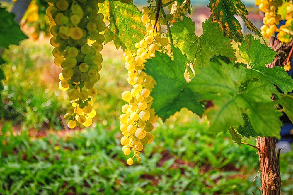 Sunlight, ripening ugni blanc grapes in Cognac (Photo: Lyn Farmer)