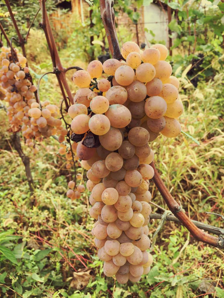 Georgia's Rkatsiteli grape (Photo: Wiki Commons)