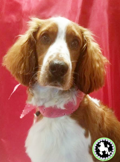 fynn welsh spring spaniel groomed by mutley makeovers tamworth.png
