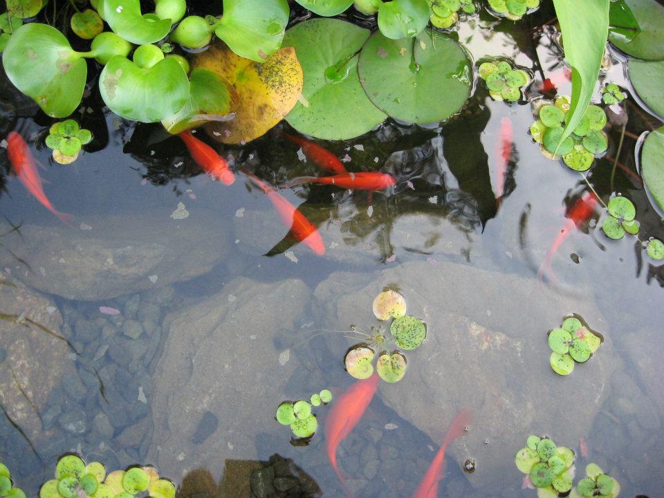 coy pond.jpg