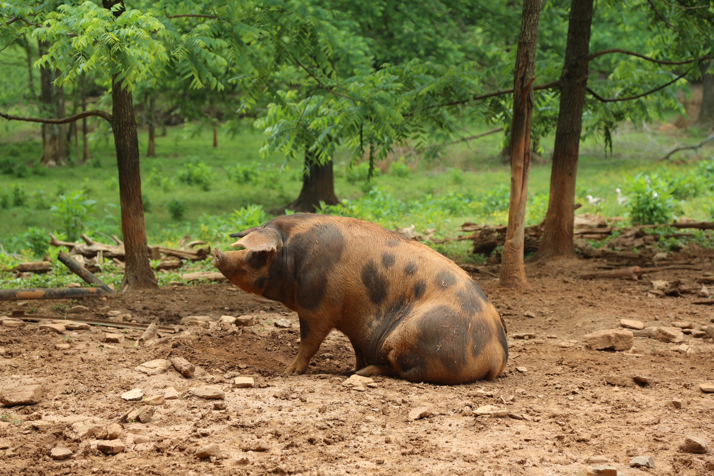A far cry from the pigs that end up as pork in the grocery store.