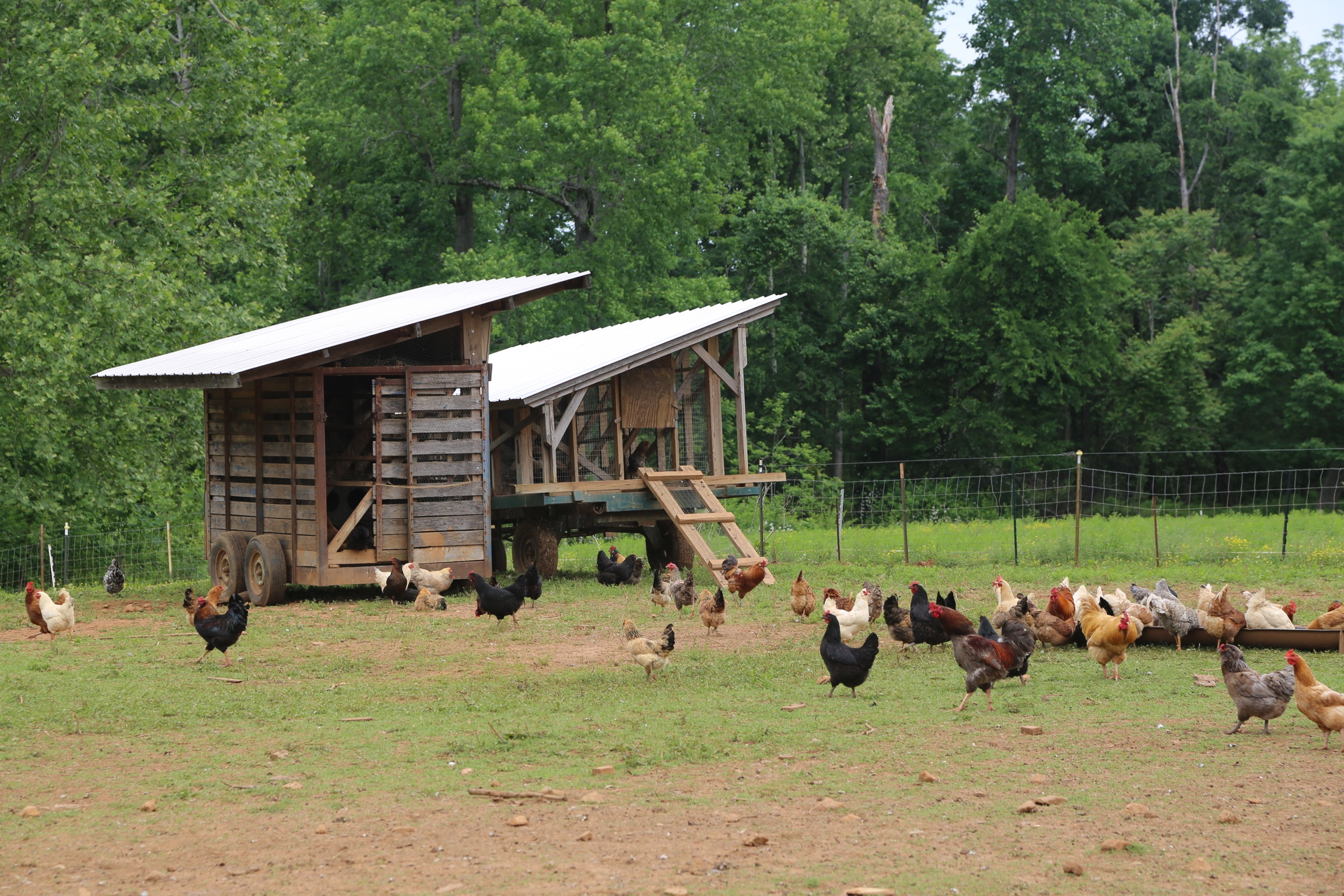 Chickens picking through pasture that has been eaten by ruminants.