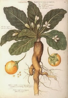 Mandrake is the main ingredient in shont.