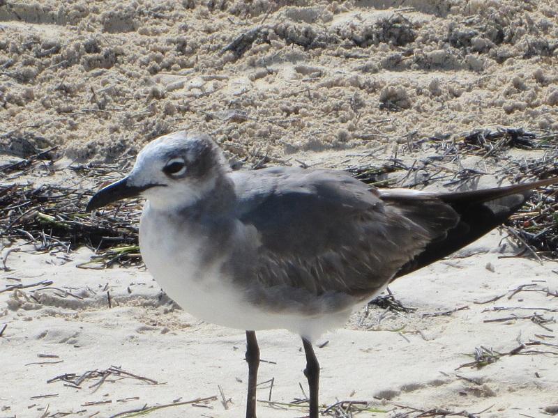 Sandpiper
