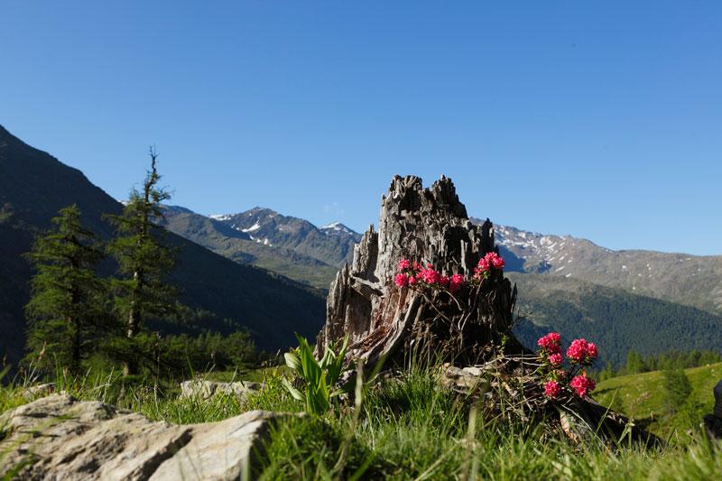 alpenrose.jpg