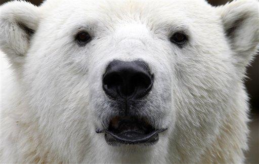 Churchill: Reviving Polar Bear as Spirit Guide