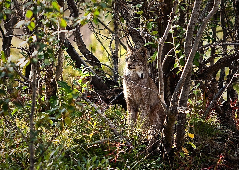 Lynx, Wrangell-St. Elias (NPS photo)