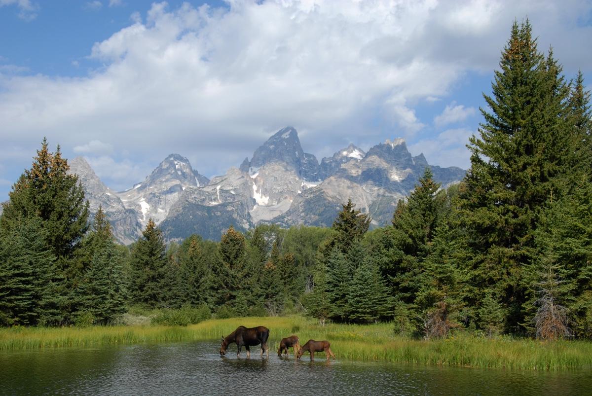 Moose family, Grand Teton National Park
