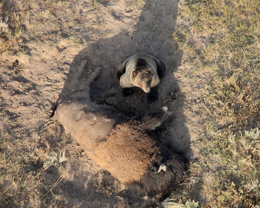 Grizzly on bison carcass, Yellowstone