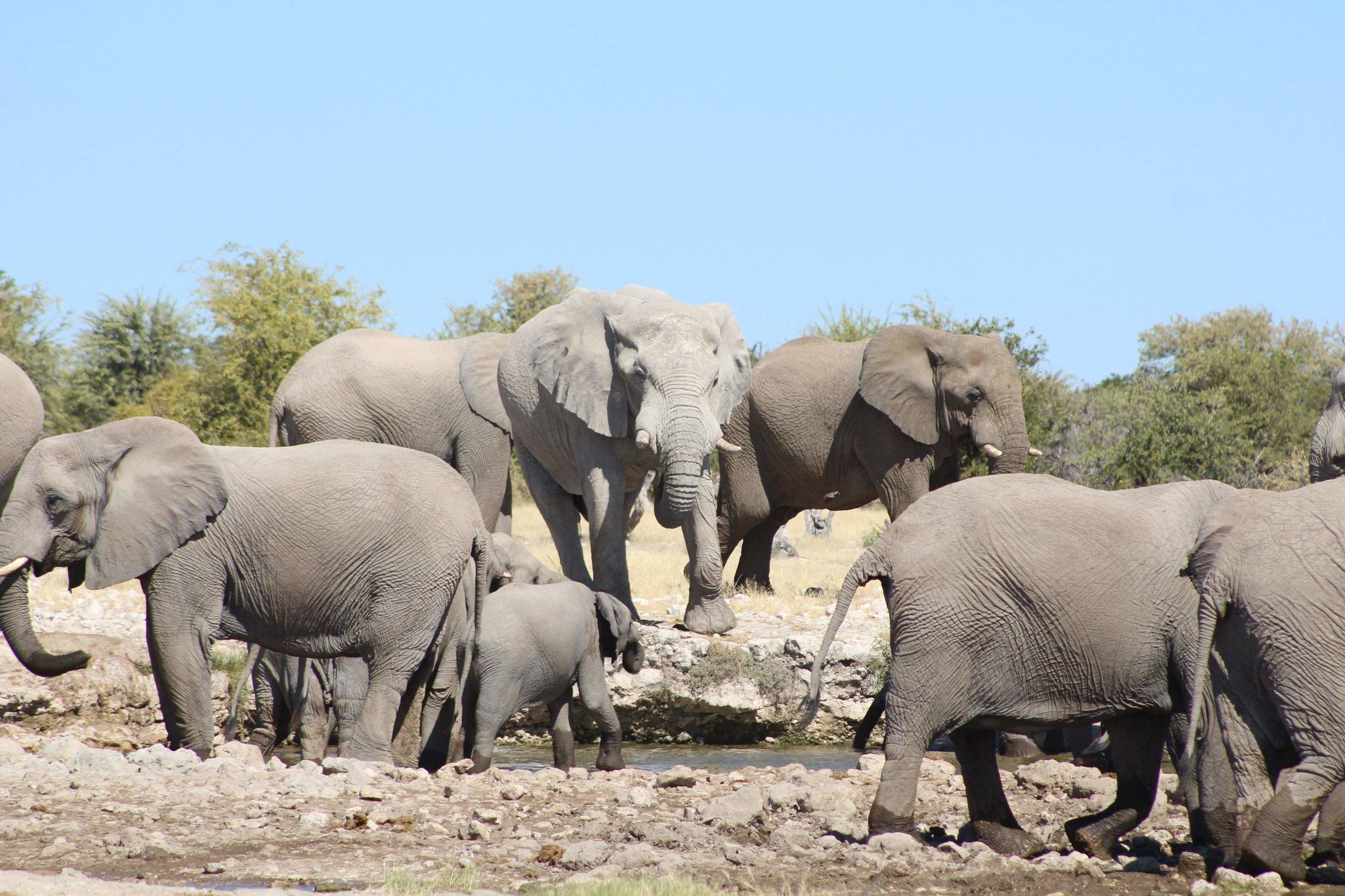 Elephants at the watering hole, Etosha, Namibia. photo by Xavier student, David Constantine.