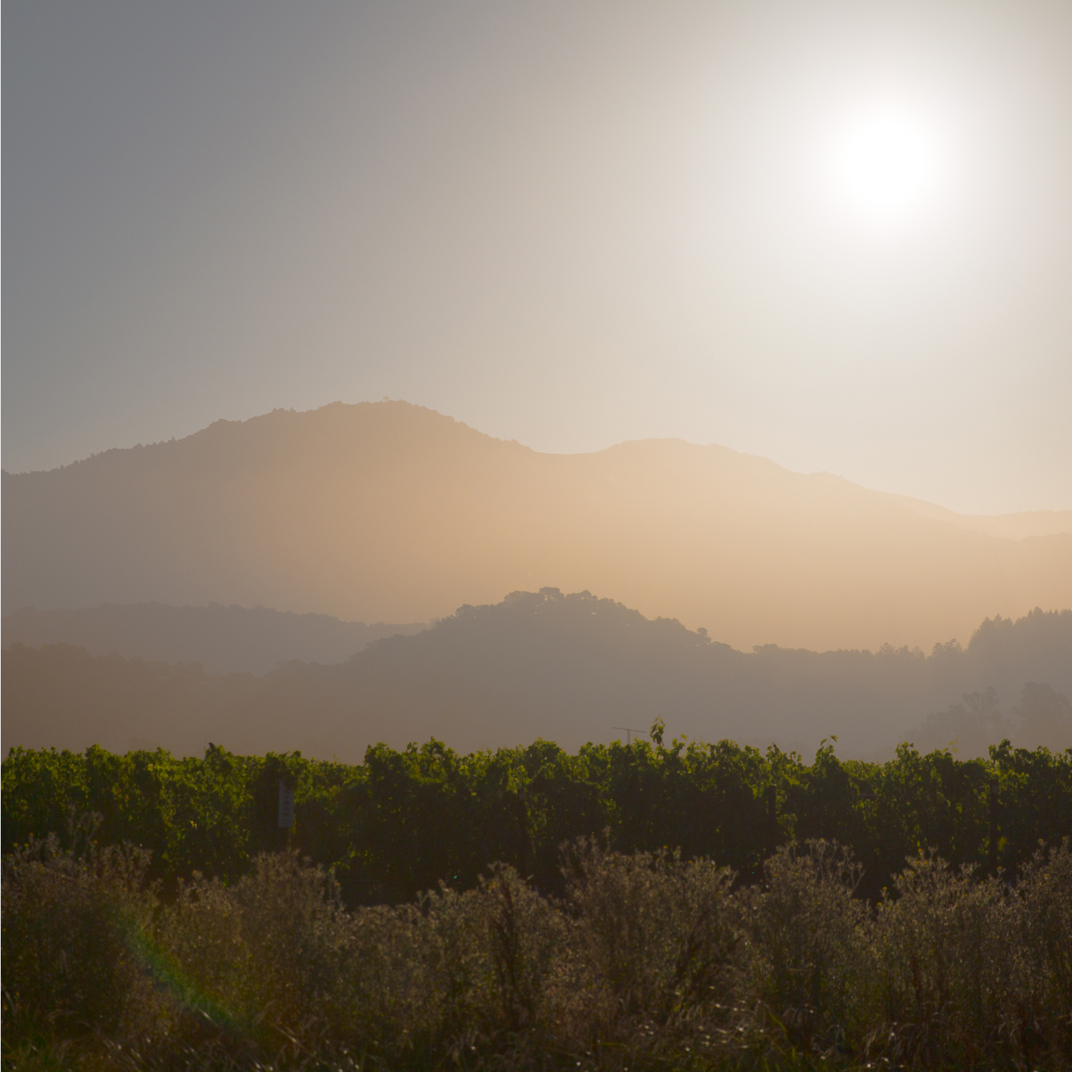 Grapevines, just after dawn, Napa Valley, California