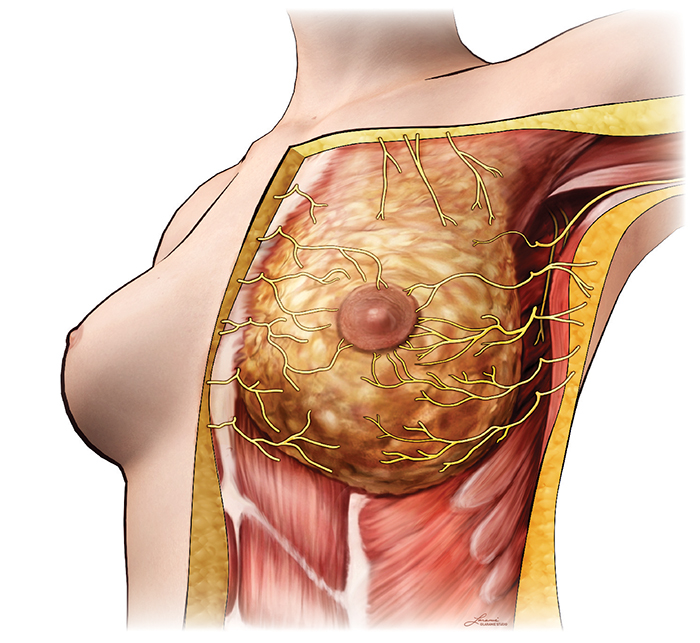 Cutaneous Innervation of the Breast
