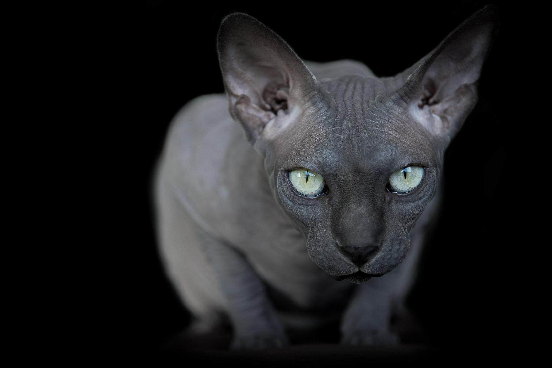 sphynx-cat-photos-by-alicia-rius-11.jpg