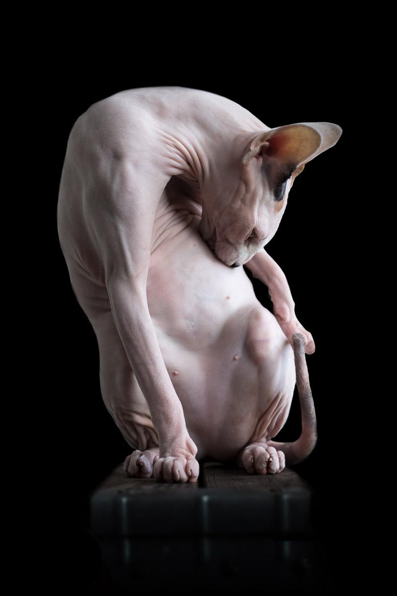 sphynx-cat-photos-by-alicia-rius-16.jpg
