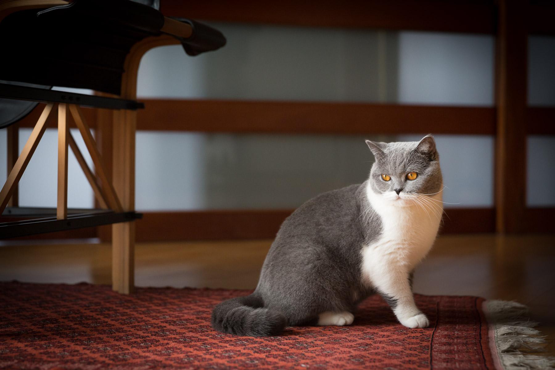 british-short-hair-cat-photos-cat-photographer-los-angeles.jpg