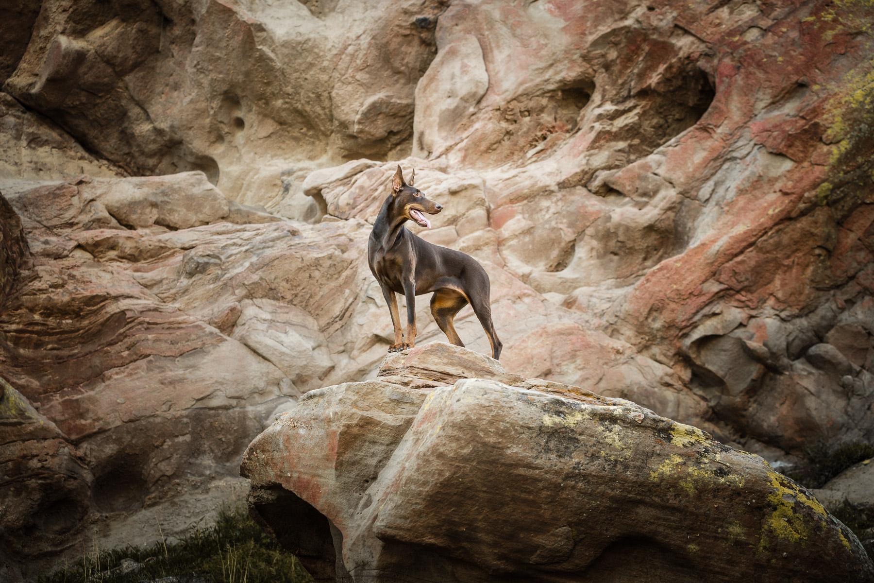 commercial-dog-photographer-doberman-on-rock-epic-photo.jpg