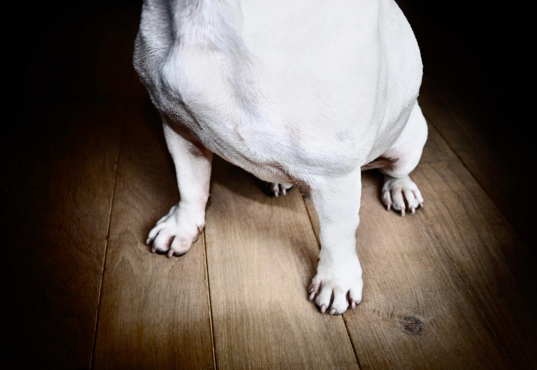 close-up-french-bulldog-legs-animal-photographer-los-angeles.jpg