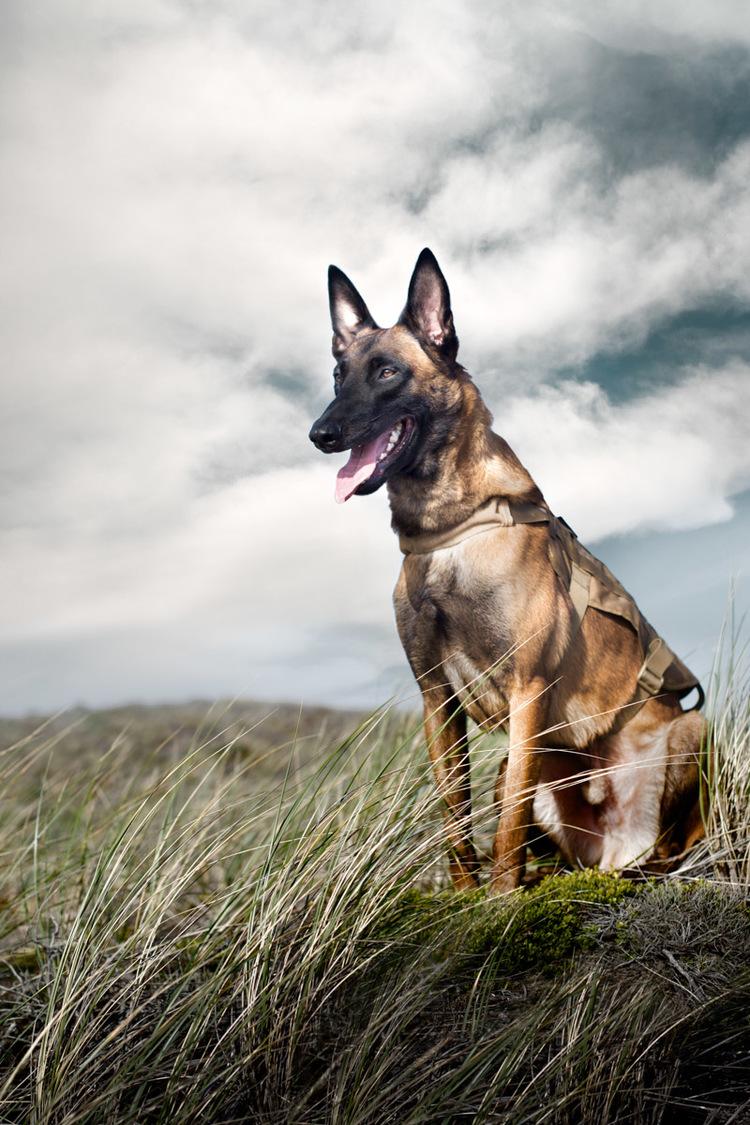 commercial-dog-photography-belgian-millanois.jpg