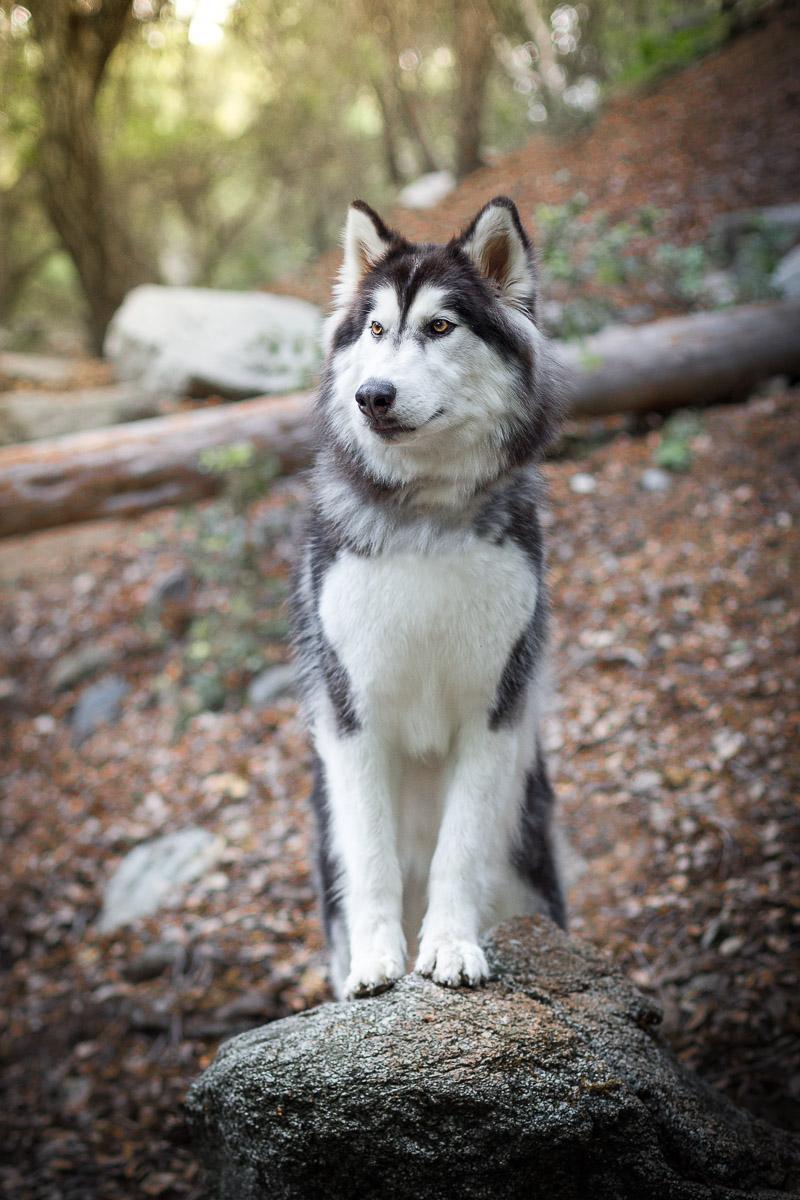husky-wolf-dog-standing-on-rock-forest-woods-dog-photographer.jpg