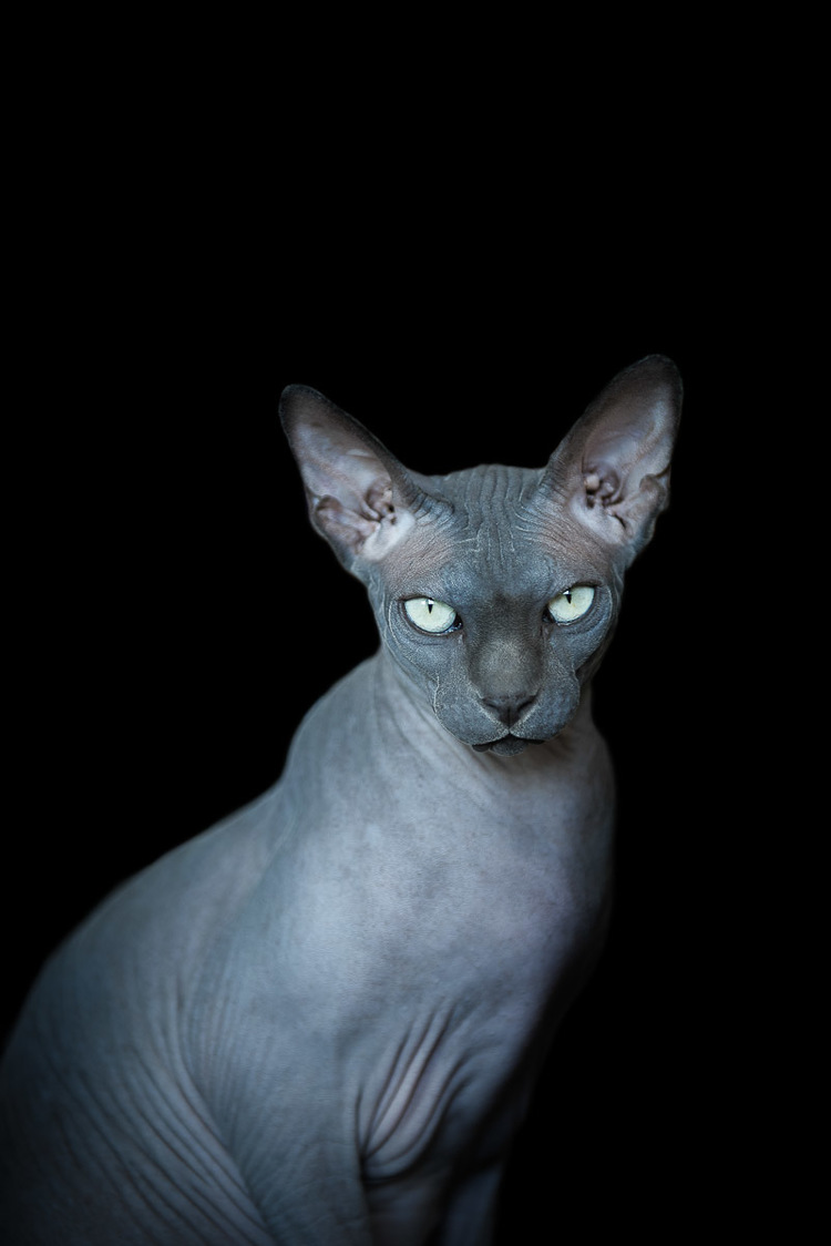 sphynx-cat-photos-by-alicia-rius-10.jpg