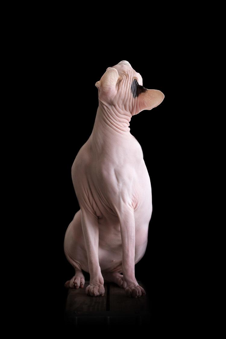 sphynx-cat-photos-by-alicia-rius-12.jpg