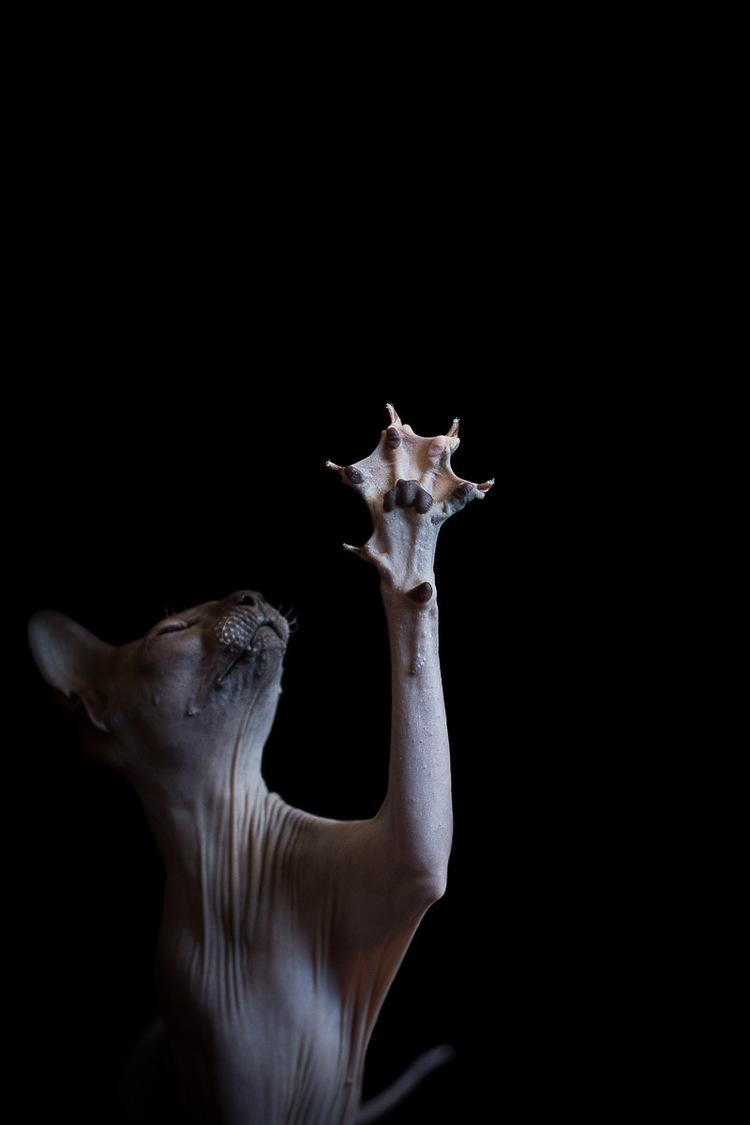 sphynx-cat-photos-by-alicia-rius-22.jpg
