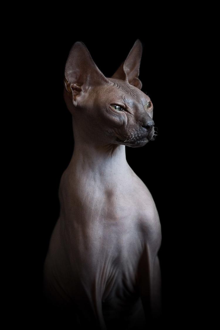 sphynx-cat-photos-by-alicia-rius-25.jpg