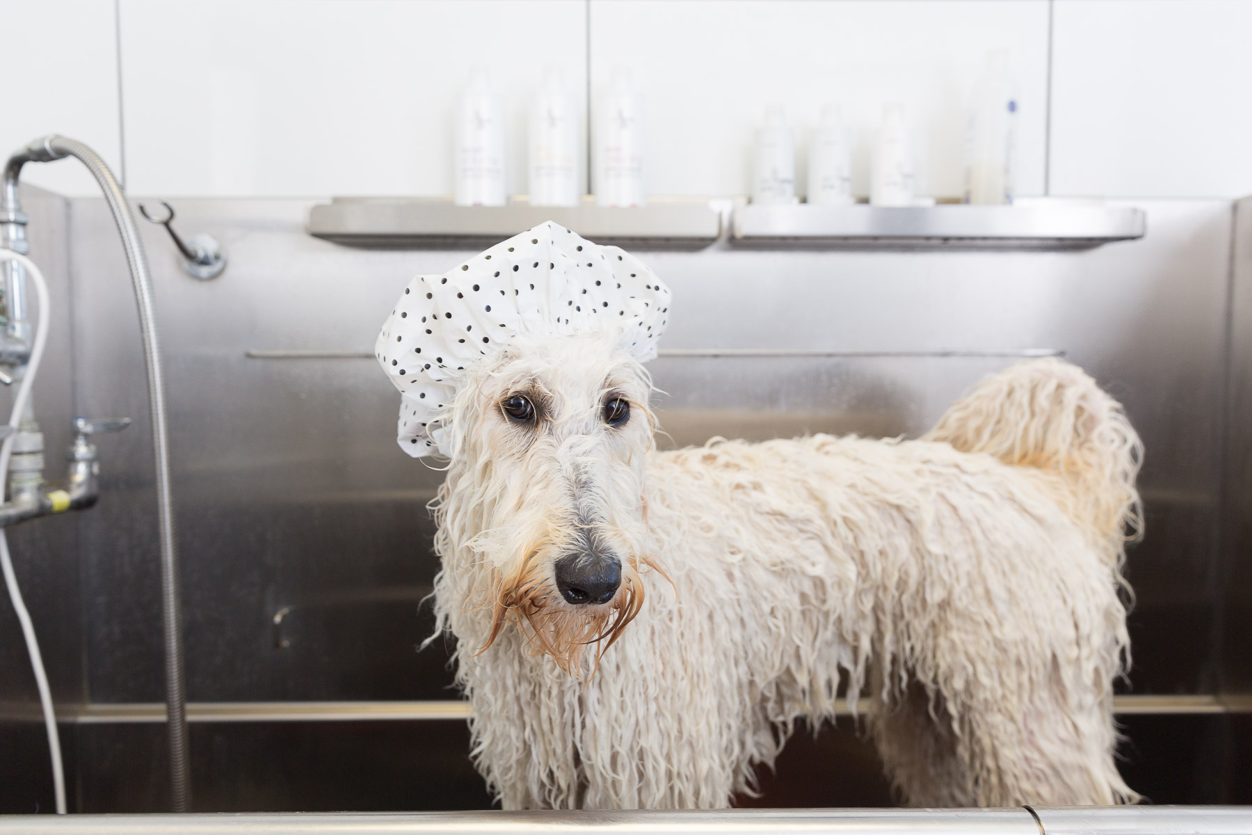 White dog being bathed in a tub ready for a blue berry facial treatment.