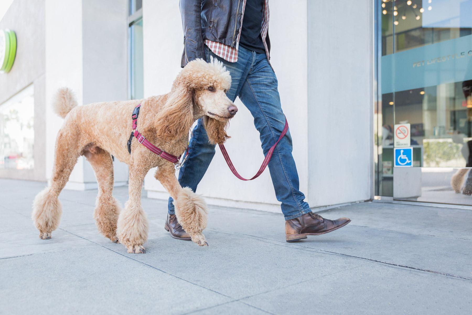 photo-walking-with-dog-poodle-on-leash-dog-photography.jpg