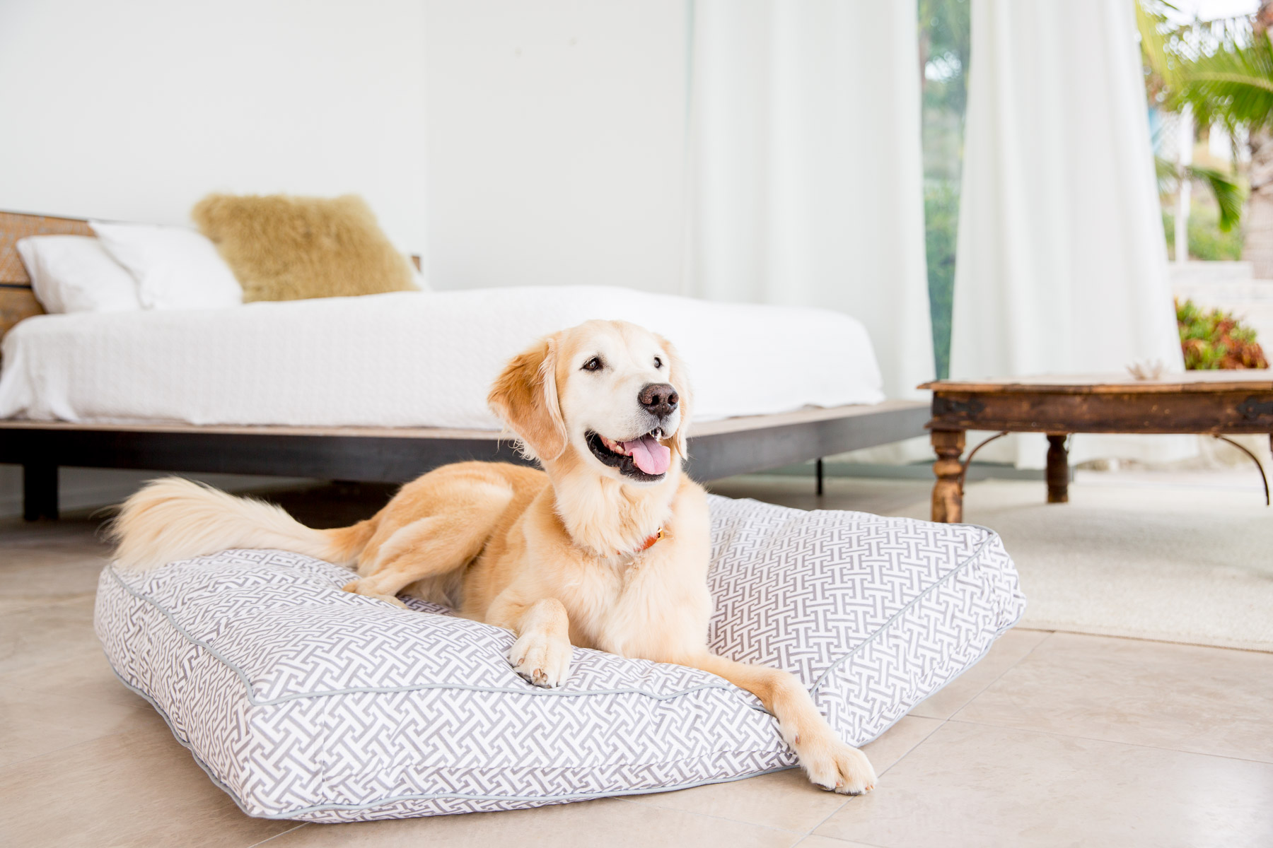 Golden Retriever posing on a Jax & Bones dog bed during a commercial photoshoot.