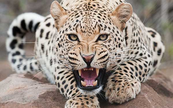 Leopard hissing at the camera.